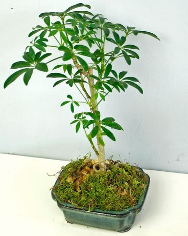 Schefflera Bonsai Tree In Merion Pa Long Stems