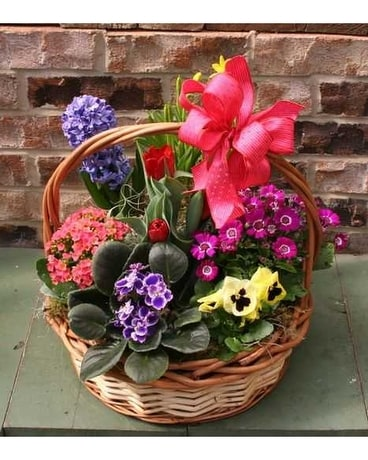 French Basket Plant