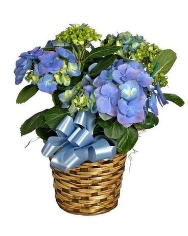 Hydrangea Basket For Mom Plant