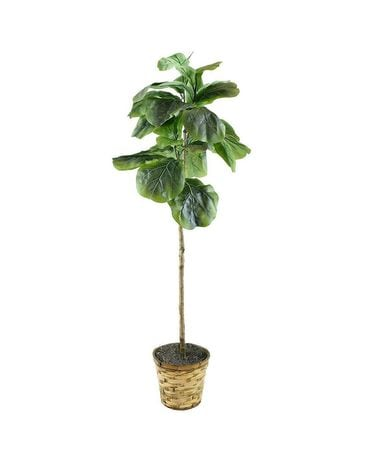 Fig Tree For The Home Plant