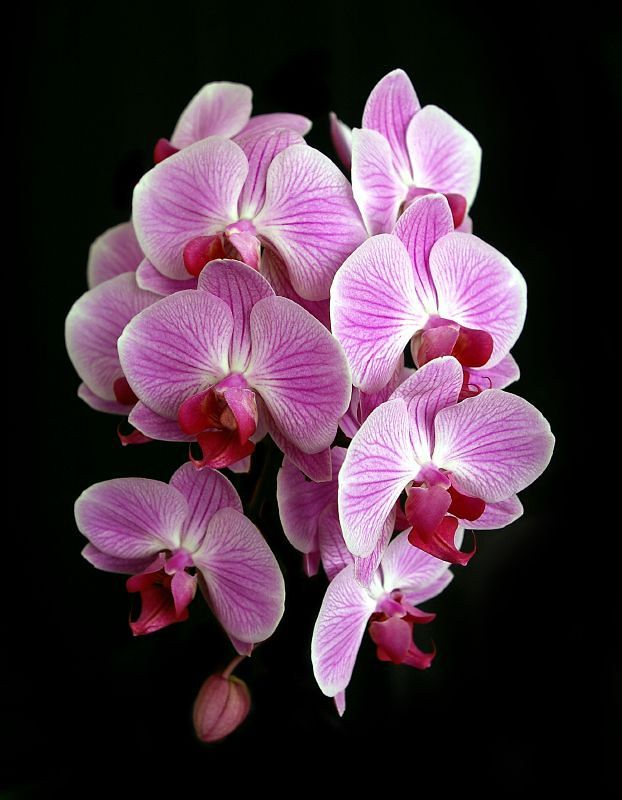 We always have a great selection of live phalaenopsis orchids plants and get new plants daily.