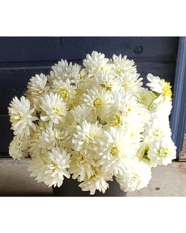 Assorted White Dahlia Tubers Plant