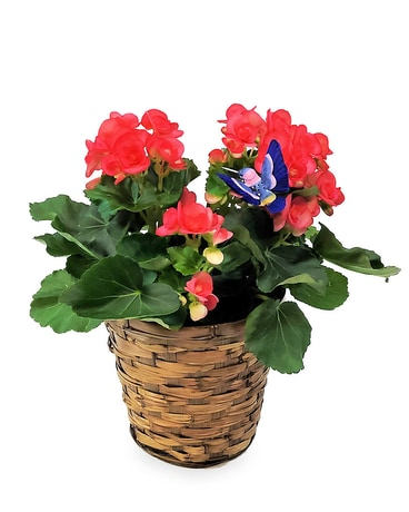Rieger Begonia Plant Plant