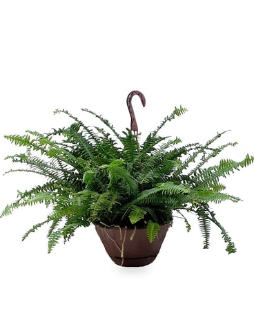 Hanging Boston Fern Plant