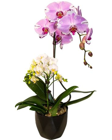 MFG Orchid Combo Plant