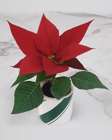 Mini Poinsettia In Cincinnati Oh Benken Florist Home And Garden