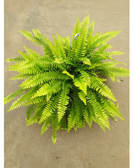 Fern Hanging Basket Plant
