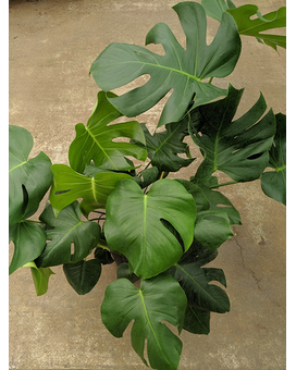 Monstera deliciosa  'Swiss Cheese' Plant Plant