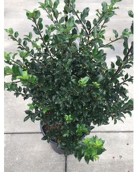 Royal Family Holly Plant