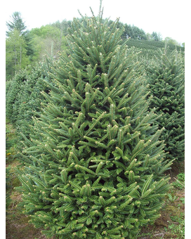 Fraser Fir Christmas Trees Custom product