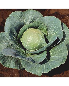 Stonehead Cabbage Plant