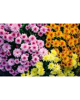 Mixed Colored Mum Patio Pot Plant