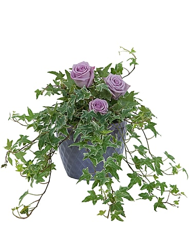 Ivy Plant with fresh roses Flower Arrangement