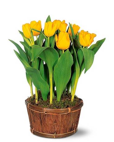 Potted Yellow Tulips Flower Arrangement