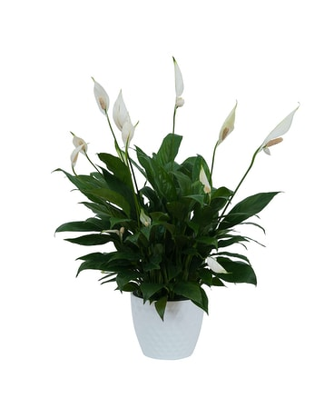 Peace Lily Plant in White Ceramic Container Plant