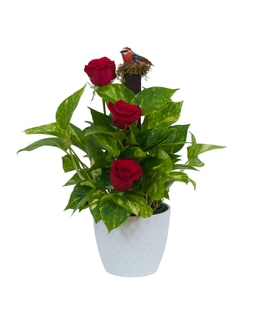 Green plant in Ceramic with Fresh Roses Flower Arrangement