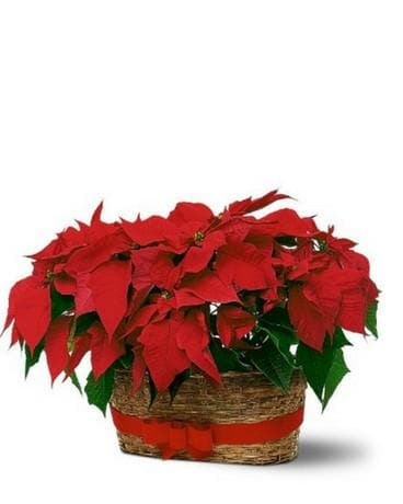 Double Poinsettia Basket Flower Arrangement