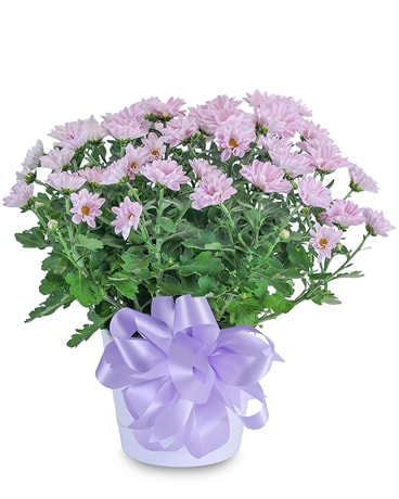 Lavender Chrysanthemum in Ceramic Container Plant