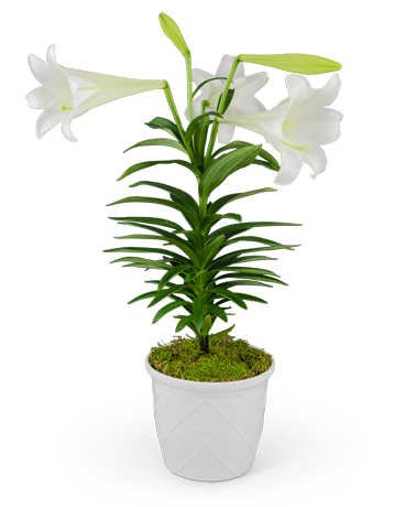 Classic Easter Lily Flower Arrangement