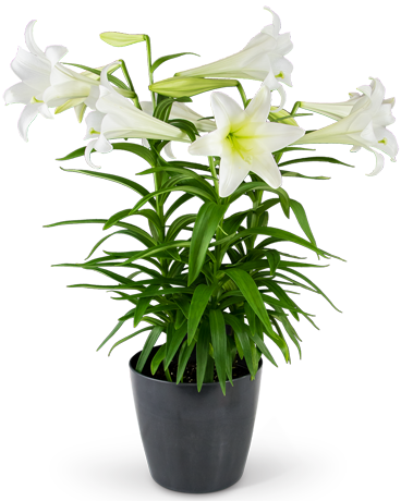 Grande Easter Lily Flower Arrangement