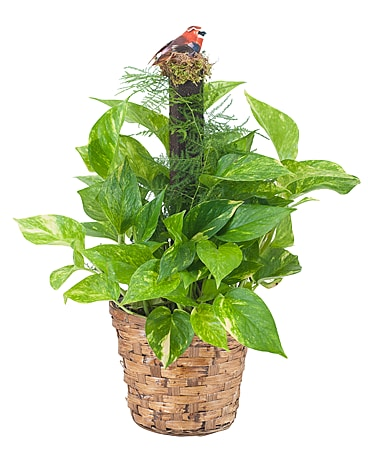 Pothos Plant on Pole Flower Arrangement