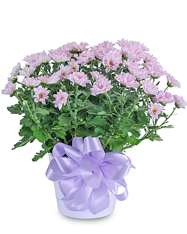 Lavender Chrysanthemum in Ceramic Container Flower Arrangement