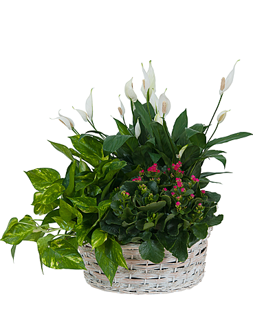 Living Garden Plant Basket Flower Arrangement