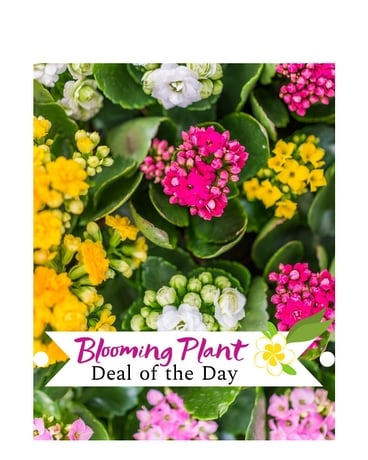 Blooming Plant Deal of the Day Flower Arrangement
