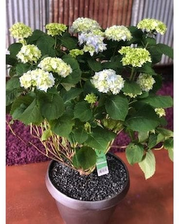Patio Hydrangea Flower Arrangement