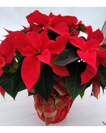 Red Poinsettia with bow Plant