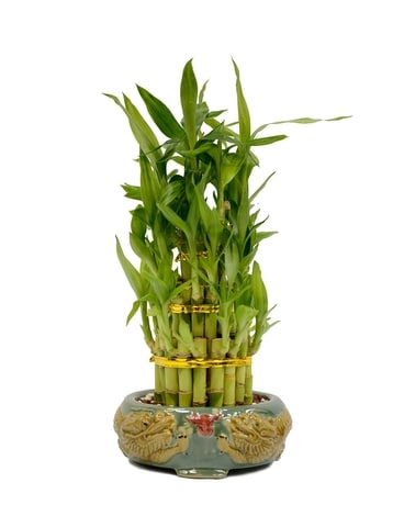 Lucky Bamboo Tower Arrangement Plant