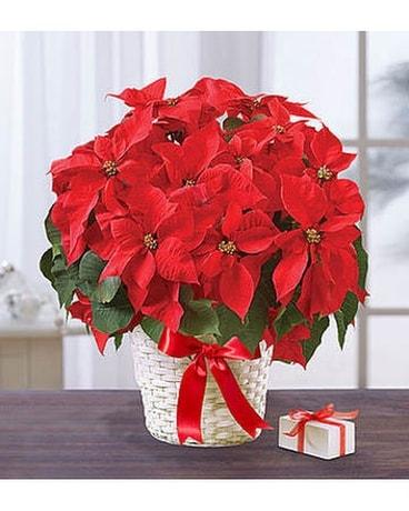 Poinsettia Package In Jupiter Fl Anna Flowers