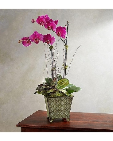 ALLURING ORCHIDS Plant