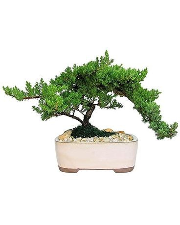 JAPANESE JUNIPER BONSAI Flower Arrangement