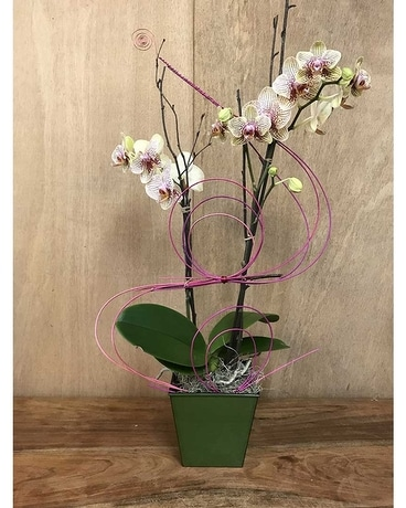 Orchid Twist Plant