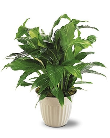 Spathiphyllum Plant - by Lary's Florist & Designs Flower Arrangement
