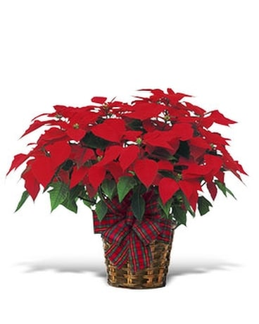 Large Red Poinsettia - by Lary's Florist & Designs
