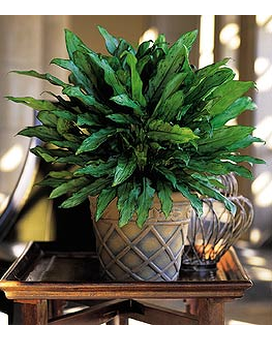 Aglaonema - by Lary's Florist & Designs LLC Flower Arrangement