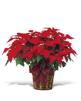 Large Red Poinsettia - by Lary's Florist & Designs Plant