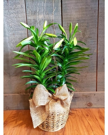 Easter Lily Basket Plant