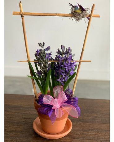 Owens Hyacinth Bulbs Plant
