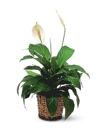 Small Spathiphyllum Plant Flower Arrangement