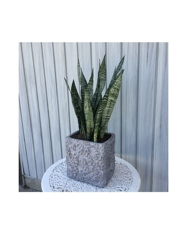 Botanical Potted Snake Plant Plant