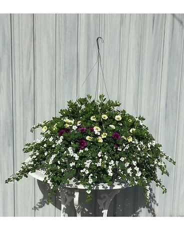 Summer Hanging Baskets - Blueberry Custard Plant