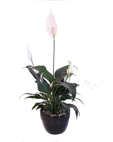 Peace Lily in Black Ceramic