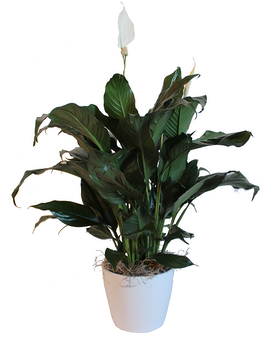 Peace Lily in Ceramic Pot