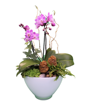Blushing Honeycomb Orchid Dish Garden Plant