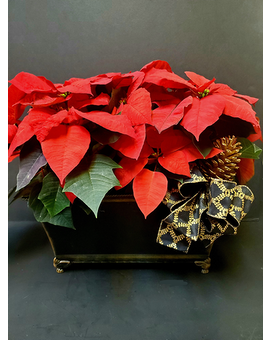 Gifts Of Christmas Double Poinsettia Planter Plant