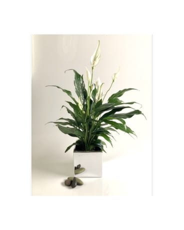 Nasa Peace Lily Flower Arrangement