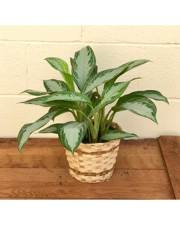 Silver Bay Chinese Evergreen Plant Plant
